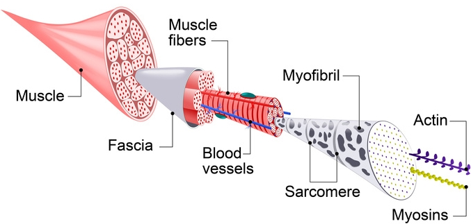 Each skeletal muscle fiber has many bundles of myofilaments. Each bundle is called a myofibril. This is what gives the muscle its striated appearance. The contractile units of the cells are called sarcomeres. (Fotolia)